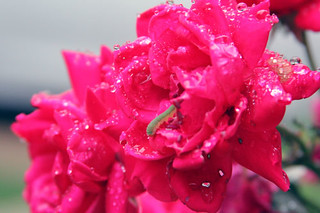 raindrops-rose-caterpillar1-500px