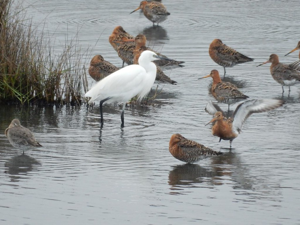 Yes, yes egrets With godwits - or were they wotnots? Brockenhurst to Lymington
