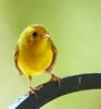 Wilson's Warbler female