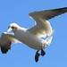 Gannet by Mrs Airwolfhound