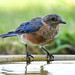 The Eastern Bluebird at the Bath by mharoldsewell