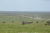 Serengeti plains with millions of wildebeest