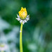 Lowly dandelion by Ramon2002