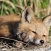 A Tired Little Fox by rivadock4