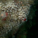 white cluster anemones by peskynewt