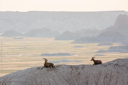 park wild wall southdakota nationalpark still view unitedstates sheep sleep wildlife national resting badlands bighorn expanse copyrighted
