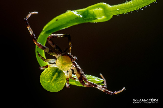 Crab spider (Thomisidae) - DSC_7624