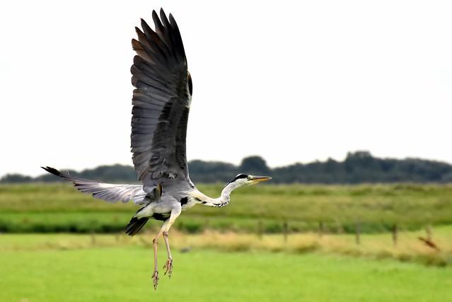 Heron Longwing