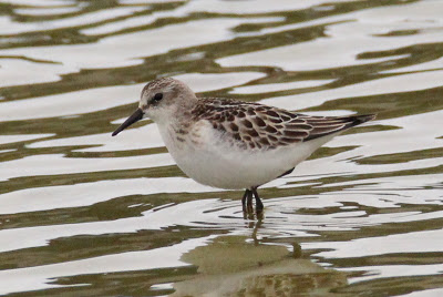 Little Stint (K.Webb)