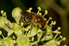 Ivy bee (Colletes hederae), m