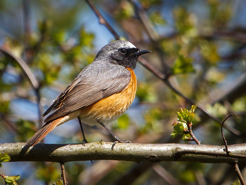 male birds vögel songbird redstart männchen singvogel gartenrotschwanz achimermarsch