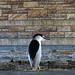 Black-crowned night heron under a Frederick bridge by quigley_brown (Jim Hamann)