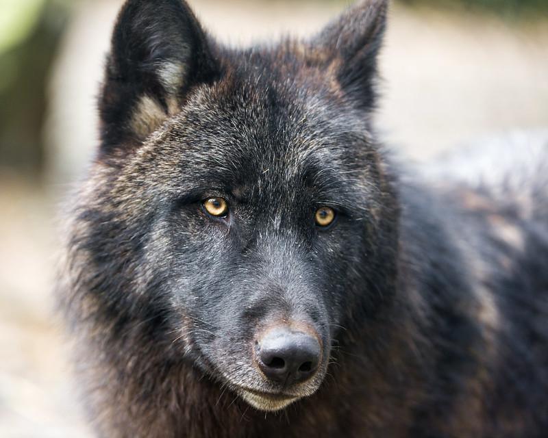 Portrait of a black timberwolf