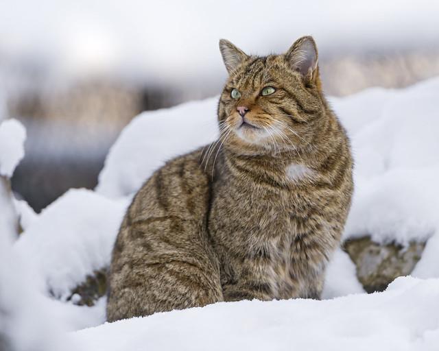 Pretty wild cat posing in the snow!