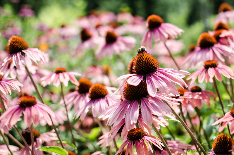5 Ways to Photograph Flowers // Show Some Action // Coneflowers and Bee