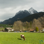 Alpine Cow - Chateau d'Oex, Switzerland