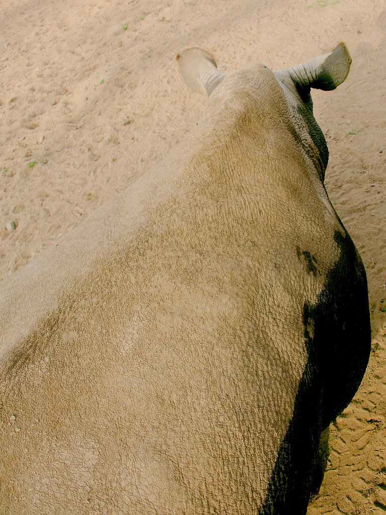 Northern white rhinoceros (Ceratotherium cottoni)_44