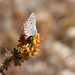 Small photo of Acmon Blue (Plebejus acmon)