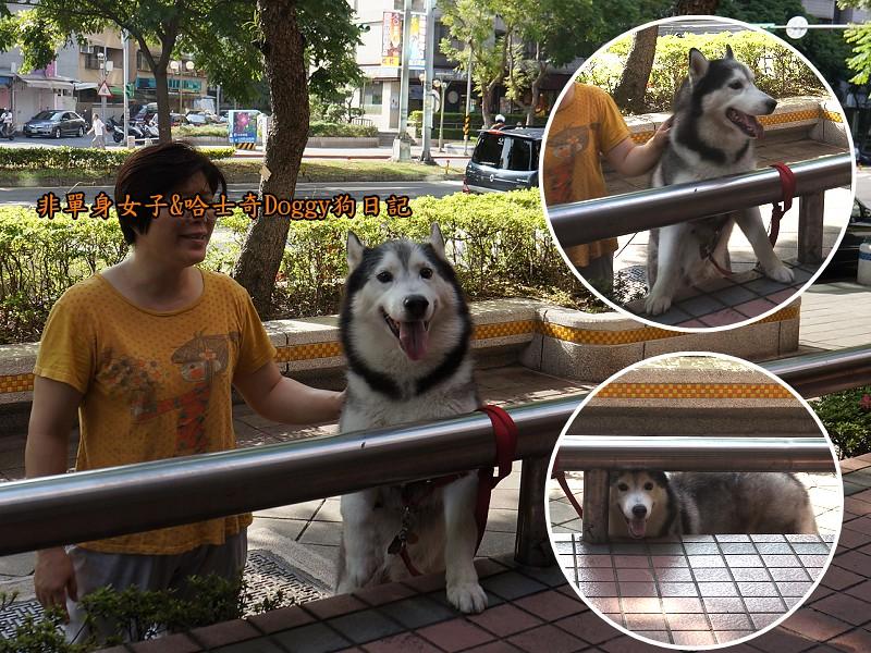 哈士奇Doggy2013陽明山二子坪07