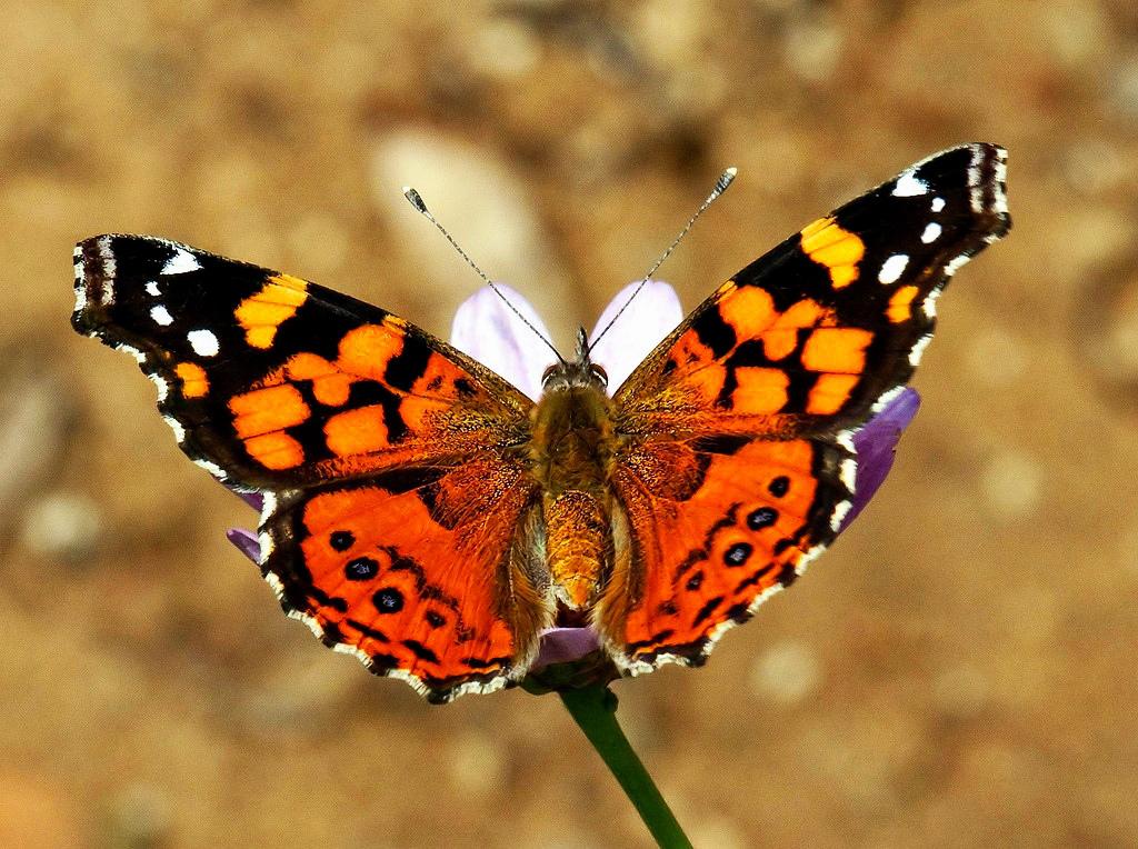 Painted Lady butterfly. Credit SD Dirk, flickr