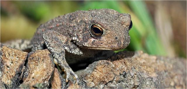 Tiny toad... Iscorama anamorphic