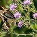 Giant Swallowtail by sbuckinghamnj
