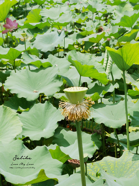 台北一日遊景點推薦植物園荷花蓮花池 (15)