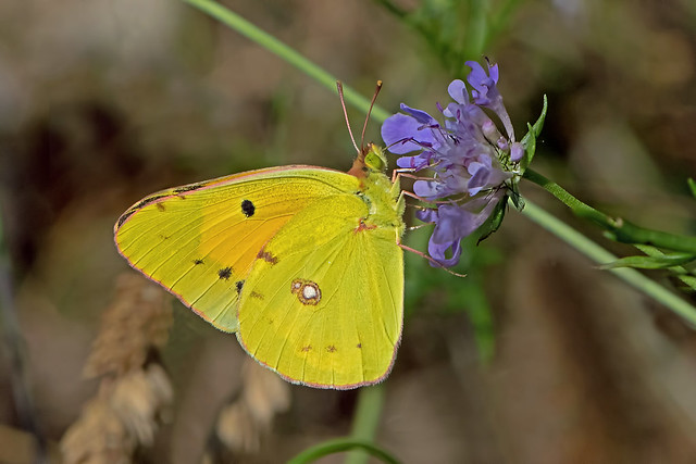 Colias crocea - the Clouded Yellow
