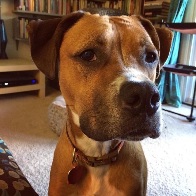 Stinkeye #dogs #boxerdog #stinkeye