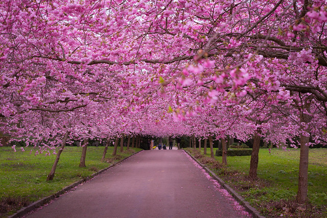 Copenhagen Cherry Blossoms