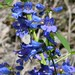 Small photo of ALBERTA BEARDTONGUE