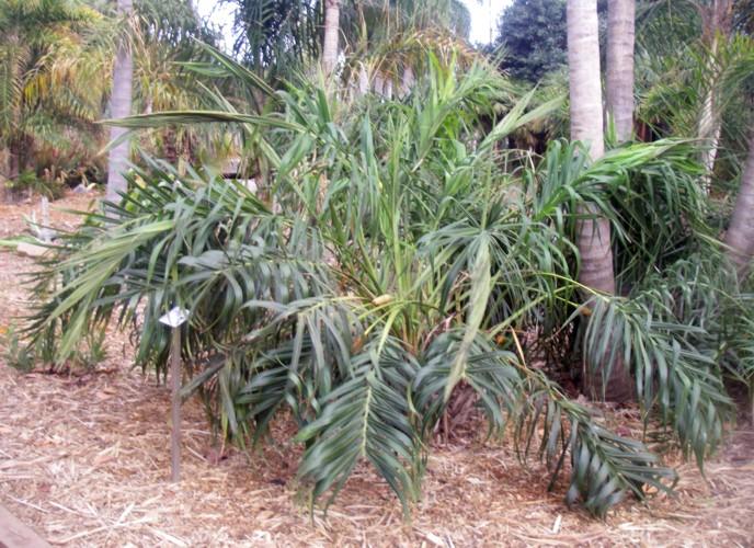 Allagoptera arenaria 16957790908_e533c86b29_o