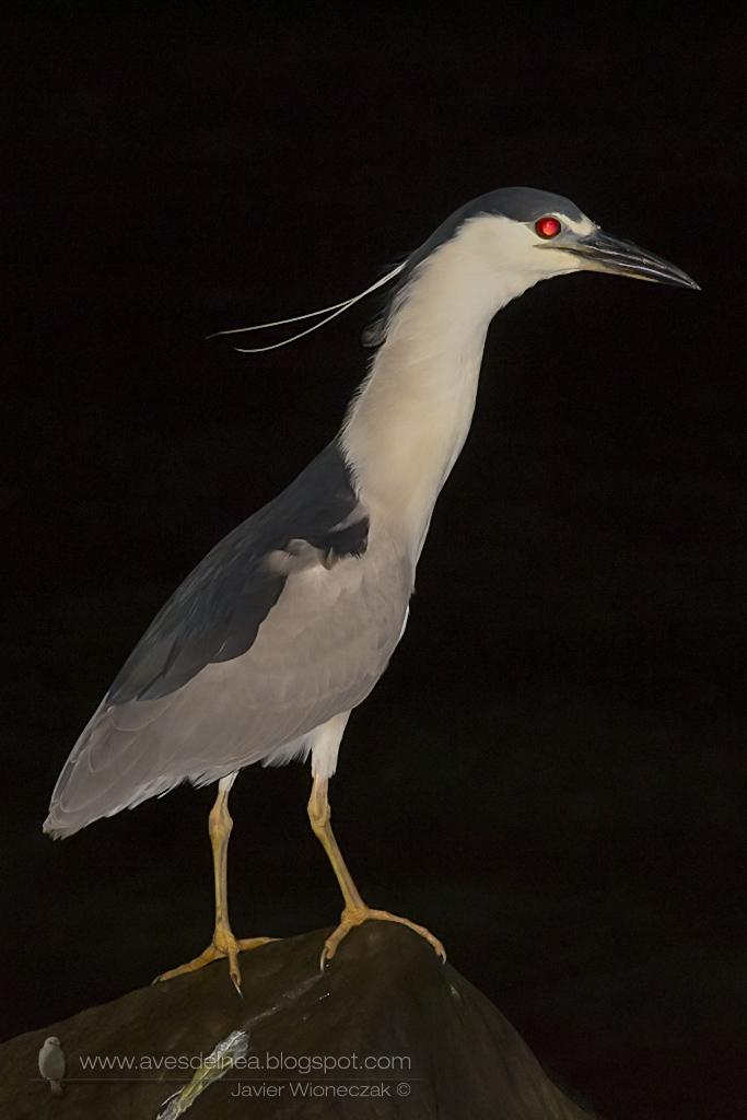 Garza bruja (Black-crowned Night Heron) Nycticorax nycticorax