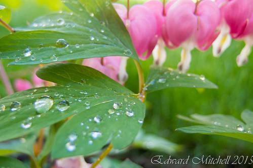 Bleeding heart flowers and rain drops