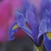 Dutch Iris (EXPLORED) by CP68-73