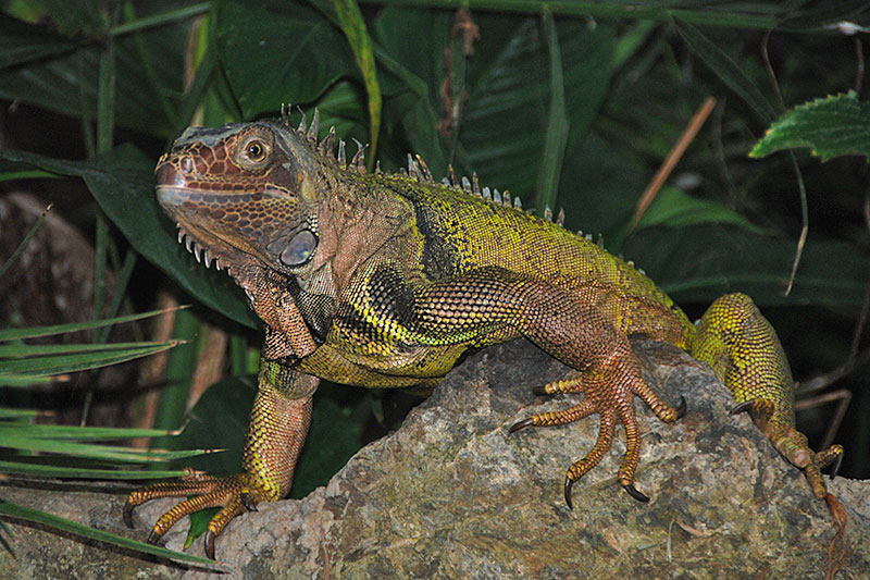 ... British · Iguana At Victoria Butterfly Gardens, Brentwood Bay,  Vancouver Island, British Columbia ...