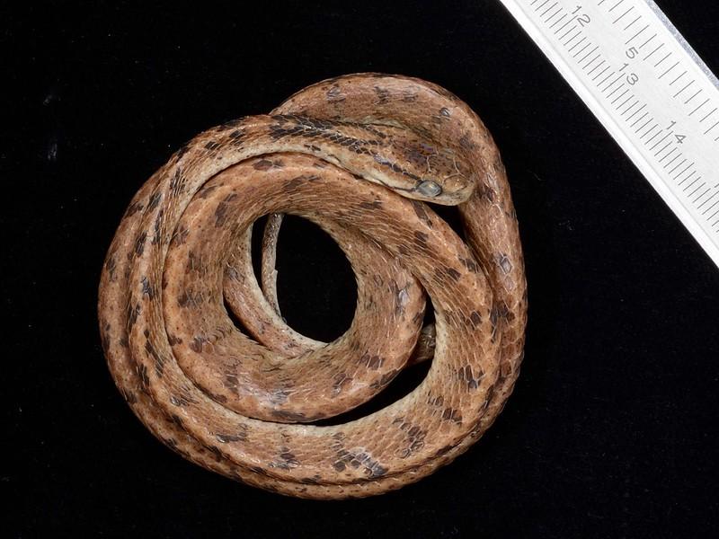 泰雅鈍頭蛇模式標本(游崇瑋攝影)