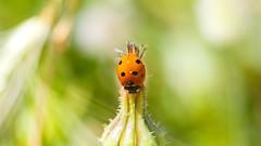 animal, ladybird, flower, yellow, nature, invertebrate, insect, macro photography, flora, fauna, close-up, wildlife,
