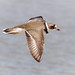 Semipalmated Plover in flight by tresed47