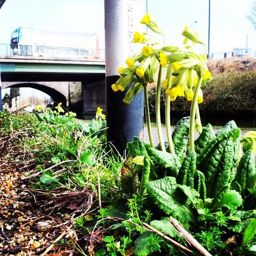 #cowslip #BridgewaterCanal #Stretford #Manchester #UrbanFlora #botany