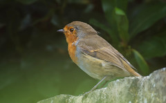 Late Summer Robin
