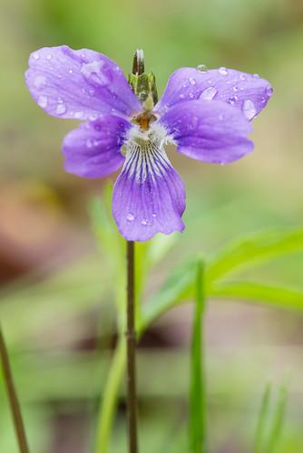native herb violaceae dicots violabrittoniana northerncoastalviolet