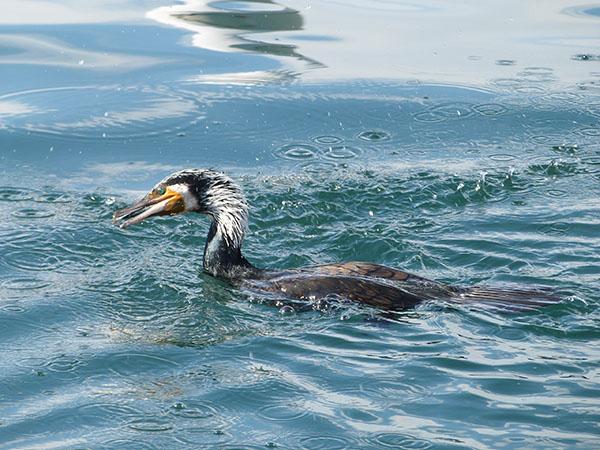 joli cormoran