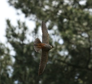 Not the best capture, I hear it's a Hobby, there was a pair, quite rare from Africa.