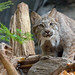 DSC_6634 Lynx du Canada