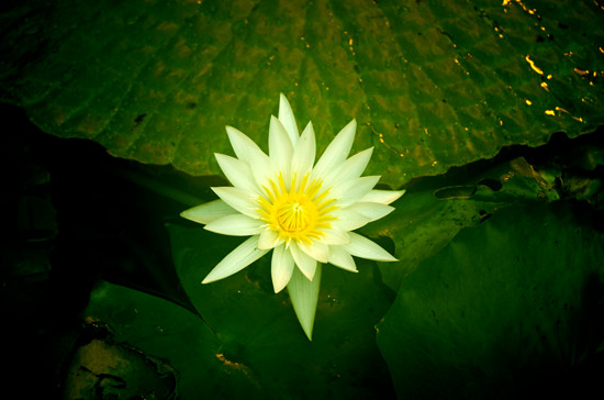 White waterlily - Domain 5 4 15 K55116 - 550