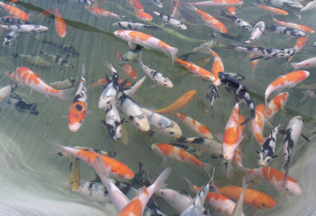 Forum day at cuttlebrook koi page 2 clubs events for Where to buy koi fish near me