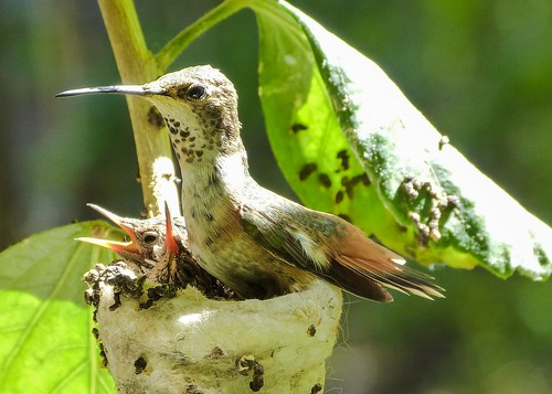Allen's Hummingbird: Back on the nest.