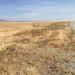 Flynn Ranch- Wheat scout 127