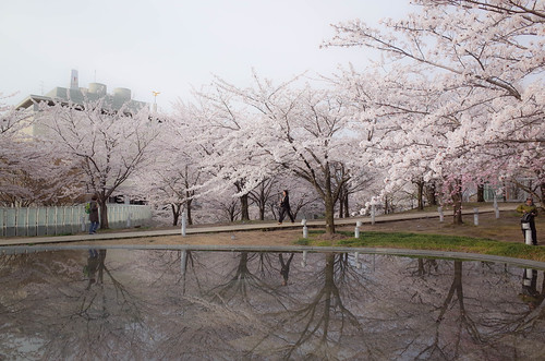 sakura morning